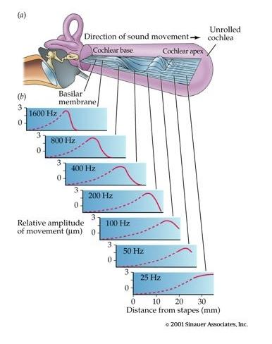 basilar membrane wo title
